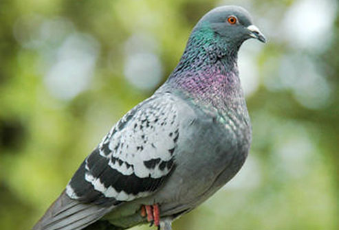 feral_pigeon