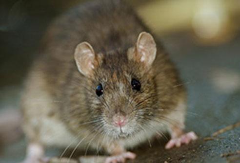 house-mice